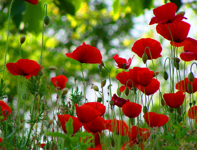 Altri mille papaveri rossi  -  Another thousand poppies