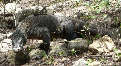Dragón de Komodo en la isla de Rinca (Indonesia)