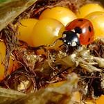 Ladybird_on_Maize