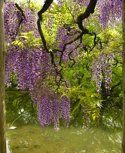Wisteria over water1