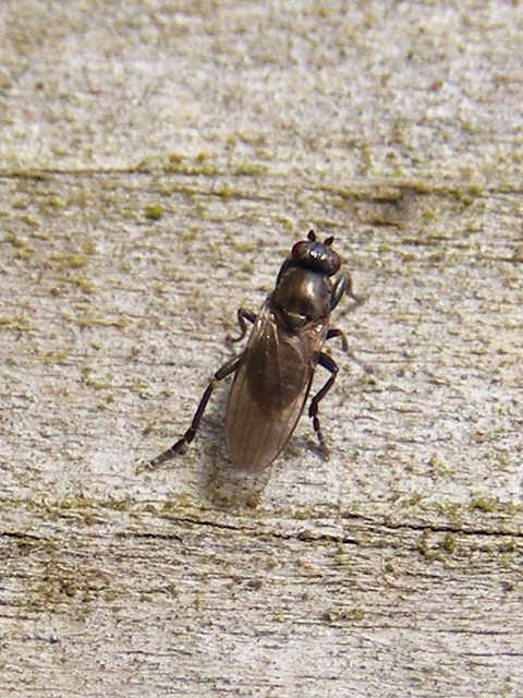Lesser dung fly (Limosina silvatica)