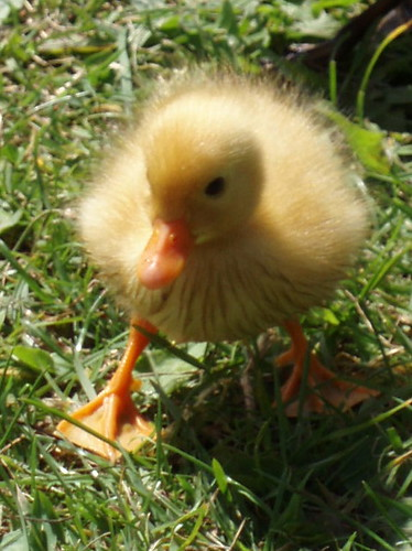 Duckling | by Limbo Poet having a break for a while