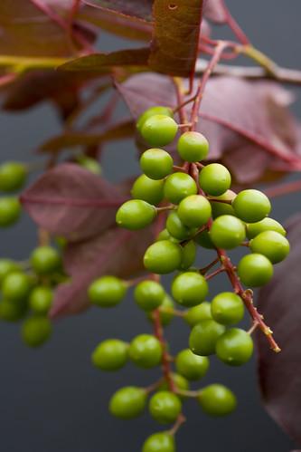 Prunus virginiana 'Schubert'