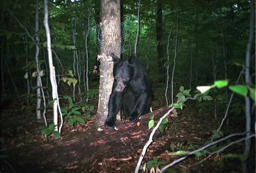 newyork bears ursusamericanus americanblackbear taxonomy:common=americanblackbear siwild:study=adirondackcarnivoresurvey siwild:studyId=adksets geo:locality=northamerica taxonomy:species=ursusamericanus taxonomy:group=bears sequence:index=1 sequence:length=1 file:name=un082e~1jpg siwild:date=200109011720000 siwild:trigger=adkimg794 siwild:imageid=adkimg794 sequence:id=adkimg794 file:path=dpixsmi2un082e~1jpg siwild:plot=smith siwild:location=smic2 siwild:camDeploy=adkdeploy115 siwild:species=155 sequence:key=1 siwild:region=adk BR:batch=sla0620101118064407 geo:lon=44812827 geo:lat=73812581