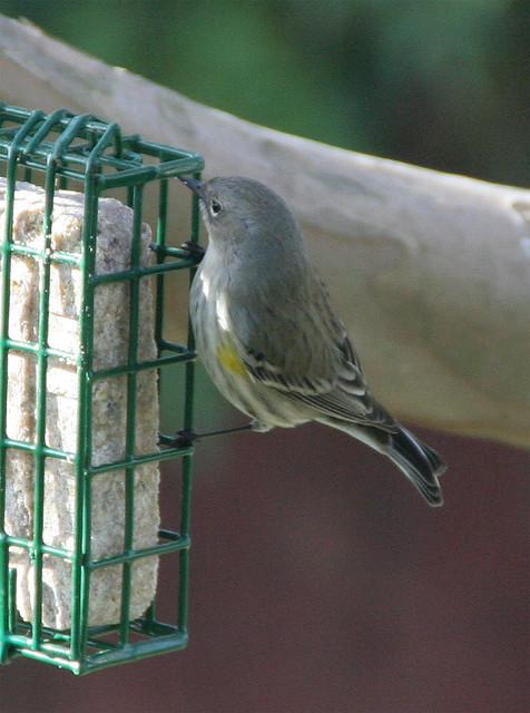 Yellow-Rumped Warbler and the suet