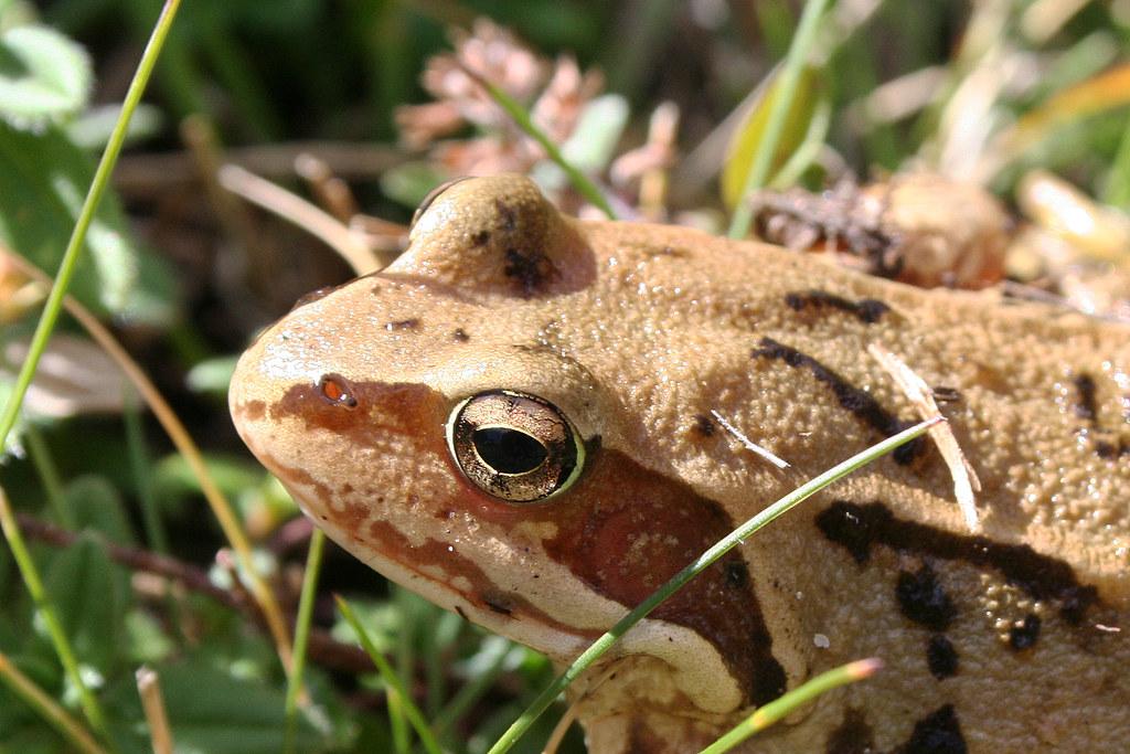 Rana temporaria ssp. (Ariège 09)