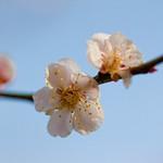 Flower, Plum tree