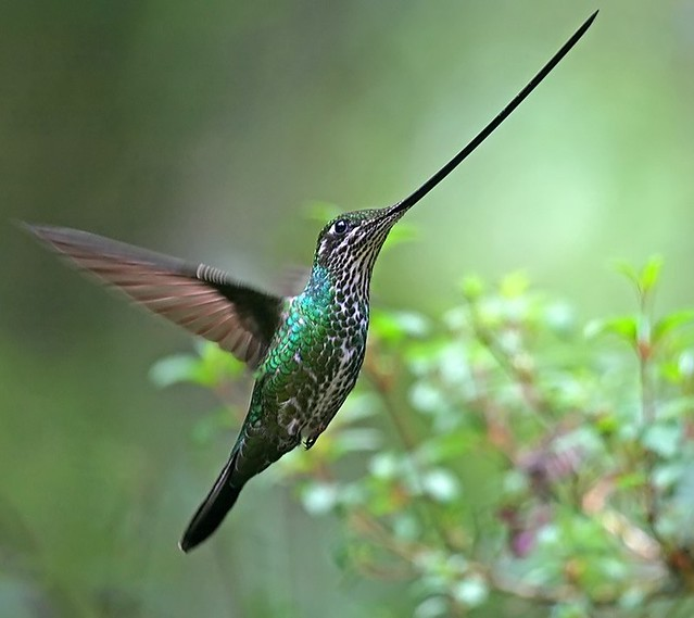 swordbilled hummingbird-- -Ensifera ensifera - Ecuador