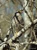 Banded kestrel (Falco zoniventris) by Jim Scarff