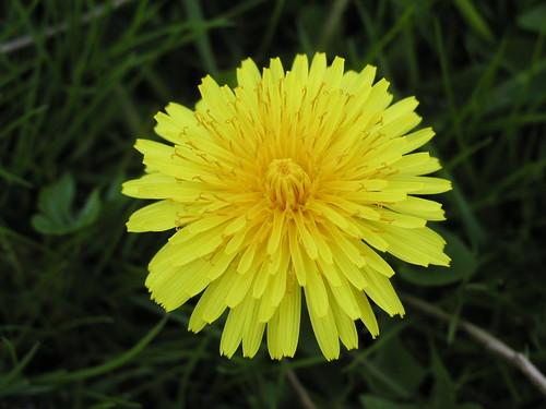 Dandelion   by bdesham