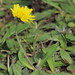 Flickr photo 'Hieracium (×?) pilosella (48°11' N 16°29' E)' by: HermannFalkner/sokol.