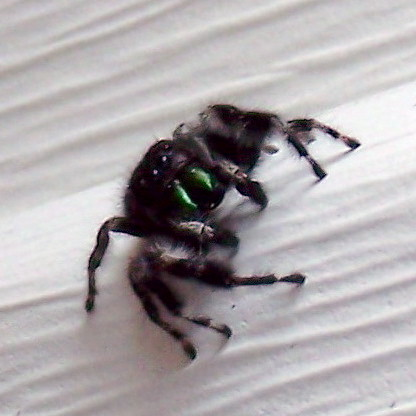 Black hairy jumping spider with 4 eyes and green fangs | Flickr