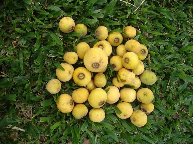 Campomanesia guazumifolia 'Curitibanos' - 08.03.07 - AM1066