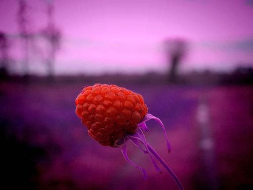 Raspberry for Ralph :) by Lorretine