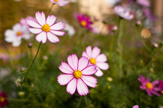 Flower, Cosmos | by nekonomania