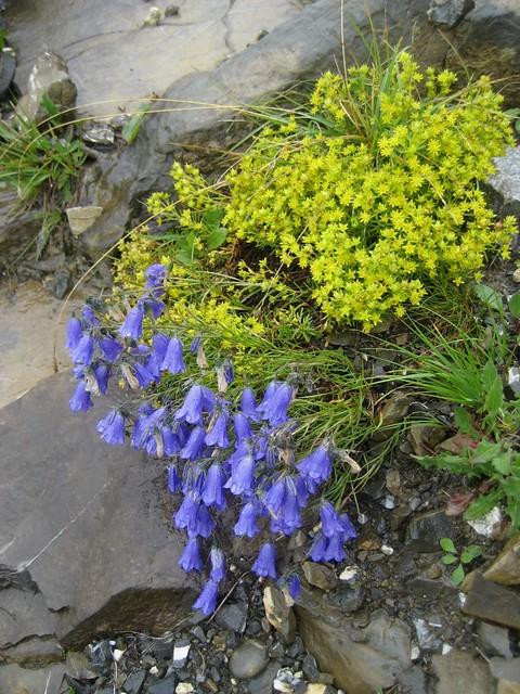... ( Blume / Flower / Alpenblumen ) am Brienzergrat im Berner Oberland im Kanton Bern in der Schweiz