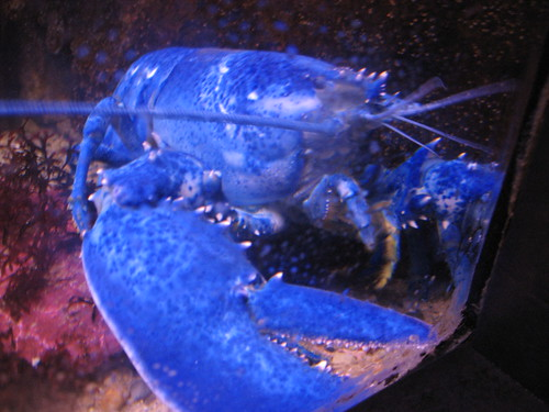 Big Bright Blue Lobster | by AndWat