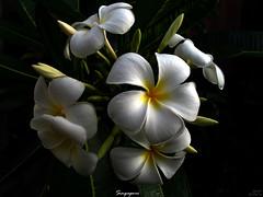 Singapore Plumeria | by mad plumerian
