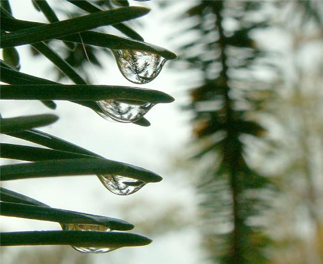 Fir drops