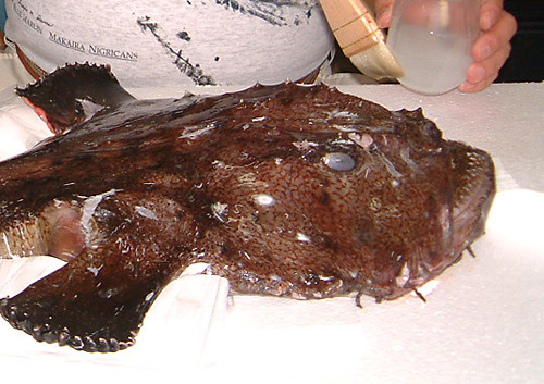 Goose fish   A goosefish, also known as a monkfish, seen ...