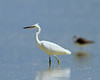 Chinese Egret (Egretta eulophotes) by Grandpa@50