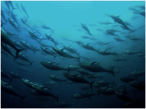 Bluefin Tuna Herd Fish Depth