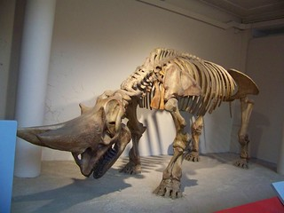 Early Rhino Fossil