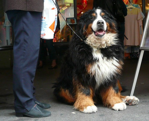 Bernese Mountain Dog | by Florence3