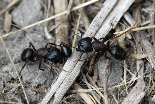 Head Count_Black Carpenter Ants (Camponotus pennsylvanicus) DSC_0345.JPG | by NDomer73