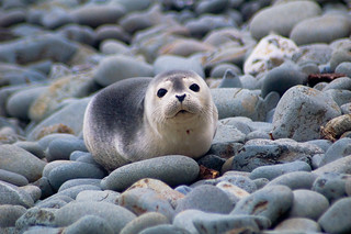 Harbor Seal Pup | by brentdanley