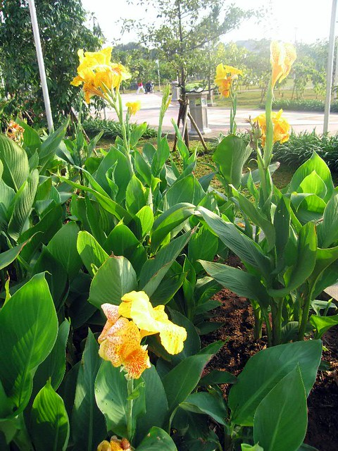 85+ Gambar Bunga Ganyong Paling Cantik