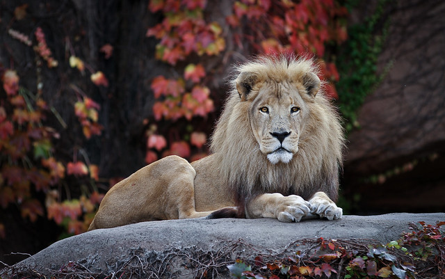His Highness - The African Lion - Head-on IMG_9260_2