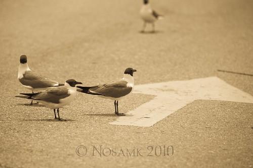 seagulls ferry nc pavement gulls northcarolina arrow pointing fortfisher nikonafsteleconvertertc17eii nikonafsnikkor70200mmf28gedvr