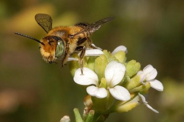 Megachile dorsalis