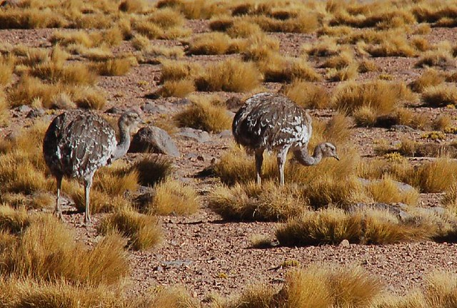 Rheas, Chilean altiplano