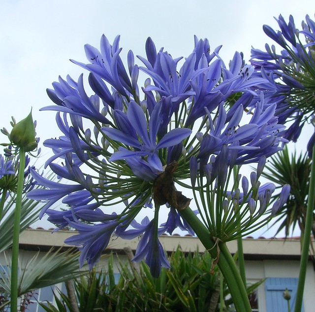 Fleur et tige doubles sur Agapanthe