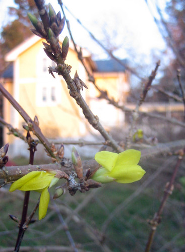 Blooming Forsythia | by Steffe