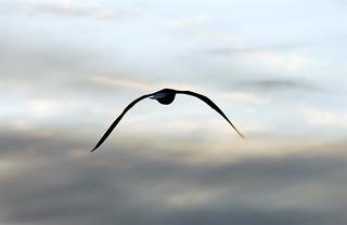 Sea Gull | by pedrosimoes7