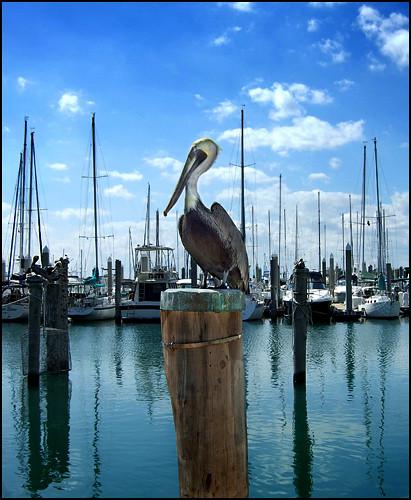 Sentinel Pelican