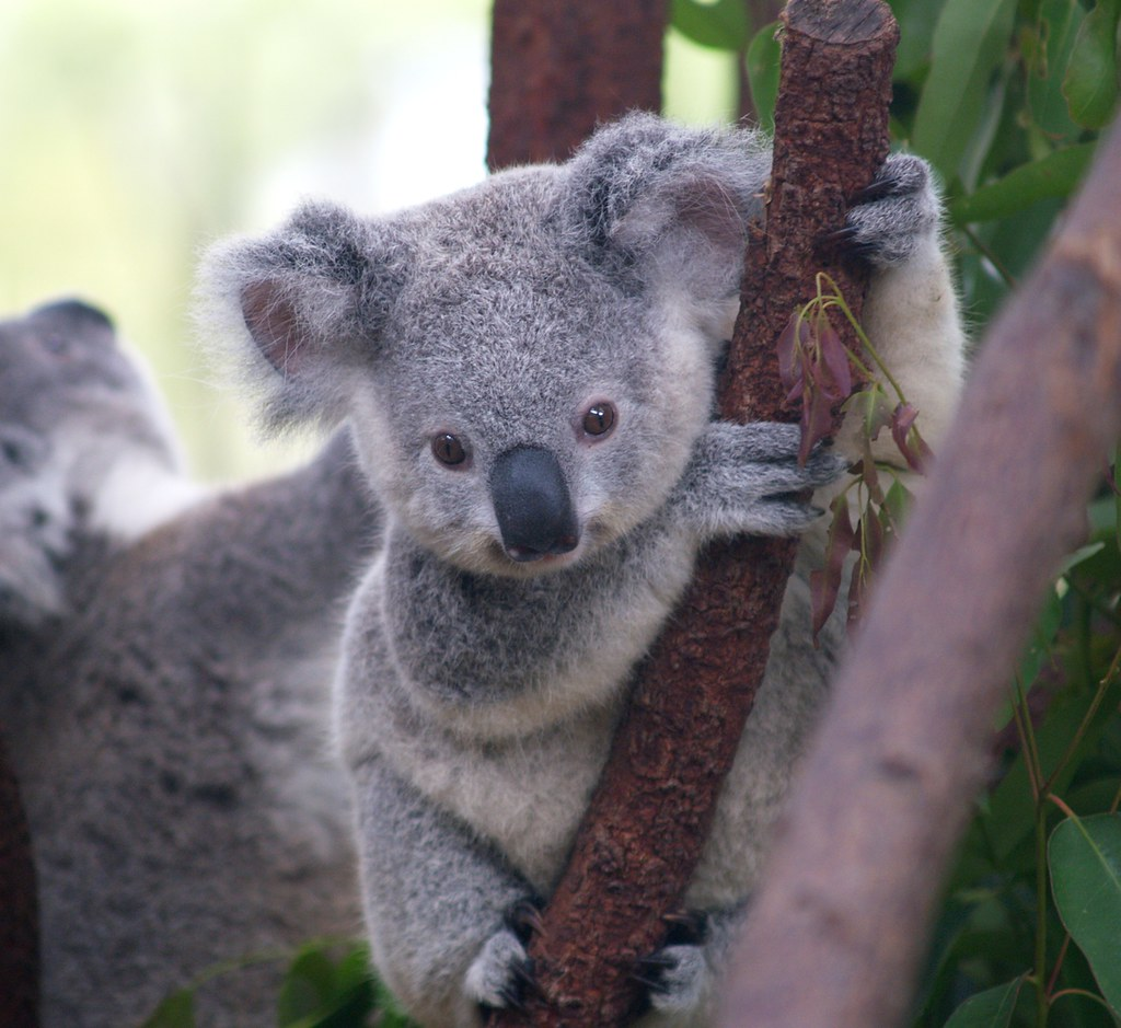 Cutest Koala by Erik K Veland