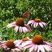 Monarch on a Purple Coneflower