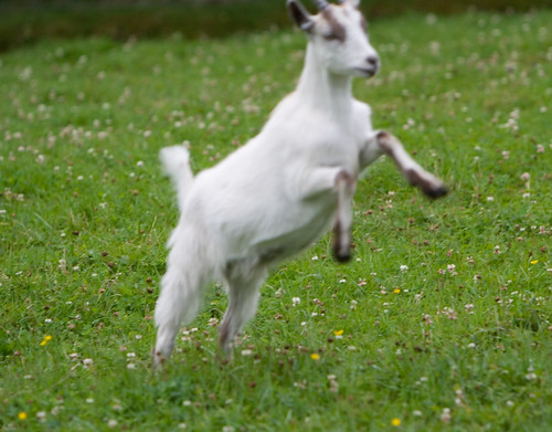 Best Goat Ever Ruined By Focus Mishap | by fiskfisk