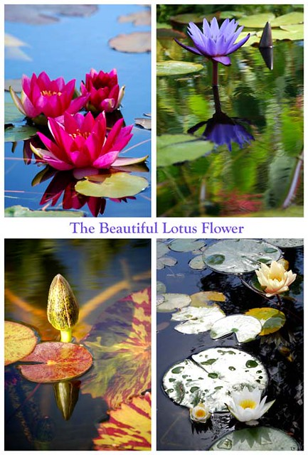 So Many Types Of Lotus Flowers Jean Pritchard Flickr
