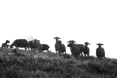 Sheep - IMG_6437-1   by Andreas Helke