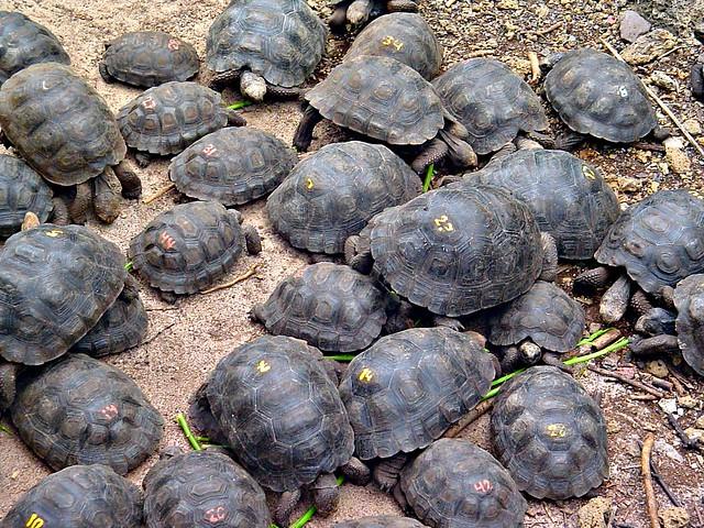Giant tortoise babies