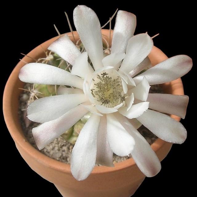Gymnocalycium anisitsii ssp damsii-03