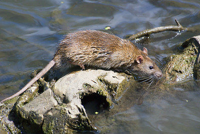 photo of a rat near water