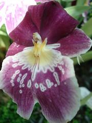 DSC02018 Orchidee