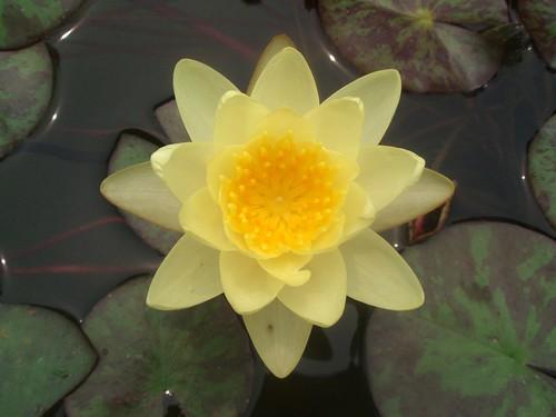 yellow lotus | by liangjinjian