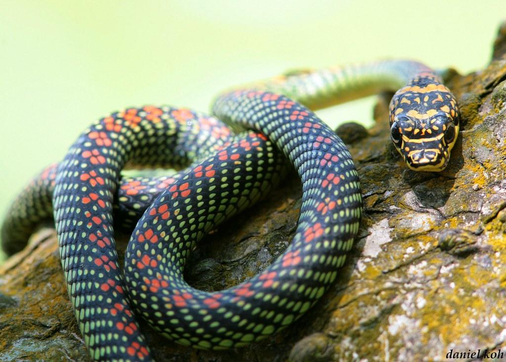 Paradise Tree Snake Found By Mel Daniel Koh Singapore Flickr